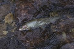Grayling fish in water. Fishing in Norway mountain river.  royalty free stock photo
