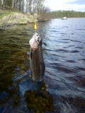 Grayling fishing Northern fish Royalty Free Stock Photography
