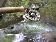 Grayling on fly Stock Image