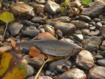 Grayling on pebble Royalty Free Stock Images