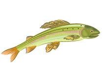 Grayling, salmon-predatory fish. Eps 8 vector without gradients Stock Photos
