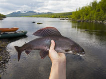 Grayling from Sweden 50 cm Stock Photography