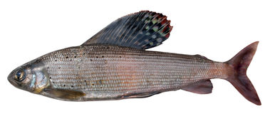 Grayling (Thymallus arcticus pallasi ) Royalty Free Stock Photo