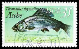 Grayling Thymallus thymallus, Freshwater Fish serie, circa 1987. MOSCOW, RUSSIA - MARCH 30, 2019: A stamp printed in Germany, Demoscratic Republic shows Grayling royalty free stock image