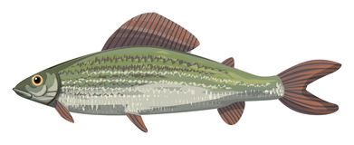 The grayling Royalty Free Stock Image