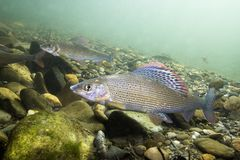 Grayling Thymallus thymallus underwater photography. Grayling Thymallus thymallus. Swimming freshwater fish Thymallus thymallus, underwater photography in the stock images