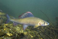 Grayling Thymallus thymallus underwater Royalty Free Stock Images