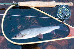 Grayling trout in landing net. A grayling in a landing net in water Stock Image