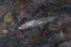 Graylingsvissen in water Visserij in de bergrivier van Noorwegen royalty-vrije stock foto