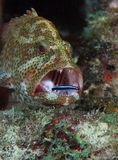 Graysby和霓虹虾虎鱼 库存照片