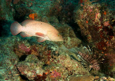 Free Graysby And Lionfish Stock Photos - 17440333