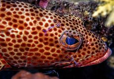 Grouper with cleaner shrimp. Graysby,Cephalopholis cruentata is a grouper with cleaner shrimp feeding stock photos