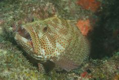 Graysby Grouper Royalty Free Stock Images