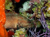 Graysby Grouper Hiding in Coral. Purple Sea Fan, Orange Sponge Stock Photo