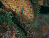 Graysby and Neon Goby Stock Photos