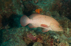 Graysby on a reef Stock Photography