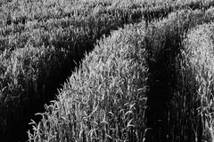 Grayscale Corn Fields during Daytime Royalty Free Stock Photos