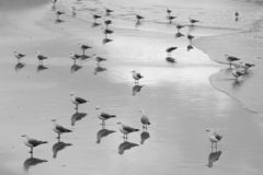 Grayscale Flock of Birds on Beach royalty free stock photography
