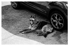 Grayscale German Shepherd Lying on Ground Royalty Free Stock Images