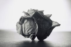 Grayscale image of beautiful dry white rose on white background, retro - vintage look. Nice background image of 3 years old rose covered with dust stock image