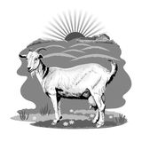 A grayscale image of a goat grazing in a pasture Stock Photos