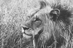 Grayscale of Male Lion on Grass Stock Photos