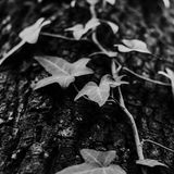 Grayscale Photo of Devil's Ivy Plant stock image
