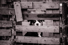 Grayscale Photo of a Dog Behind the Wooden Gate Stock Photo