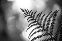 Grayscale Photo of Even Pinnate Leaf Stock Photos