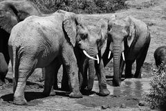 Grayscale Photo of Four Elephants stock image
