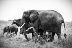 Grayscale Photo of Four Elephants Stock Photos