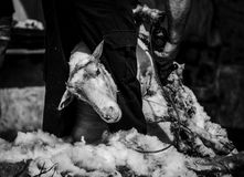 Grayscale Photo of Goat royalty free stock photos