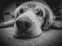 Grayscale Photo of Golden Retriever Stock Images