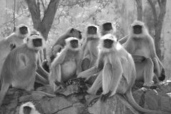 Grayscale Photo of Gray Langur Sitting Next to Trees Royalty Free Stock Photography