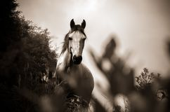 Grayscale Photo of Horse Royalty Free Stock Photo