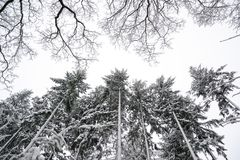 Grayscale Photo of Pine Trees Stock Photos