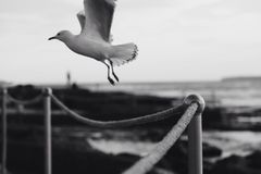 Grayscale Photo of Seagull Flying over Rope Fence Royalty Free Stock Images