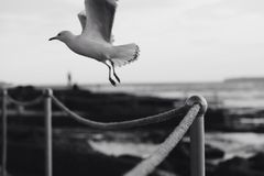 Grayscale Photo of Seagull Flying over Rope Fence Royalty Free Stock Image