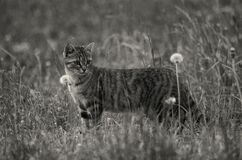Grayscale Photo of Short Furred Medium Size Cat on the Grass and Flowers Royalty Free Stock Photography