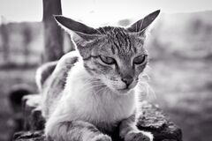Grayscale Photo of White and Black Tabby Cat Royalty Free Stock Image