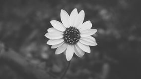 Grayscale Photo of White Flower during Daytime Stock Photo