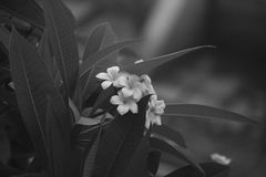 Grayscale Photo of White Petaled Flower Royalty Free Stock Images