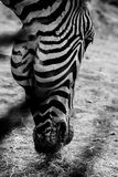 Grayscale Photo of Zebra's Head Royalty Free Stock Images