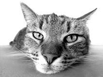 Grayscale Photography of Cat Royalty Free Stock Image
