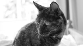 Grayscale Photography of Cat Stock Image