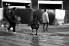 Grayscale Photography of Chicken on Surface Royalty Free Stock Images