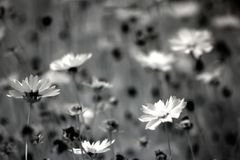 Grayscale Photography of Daisy Flowers Stock Images