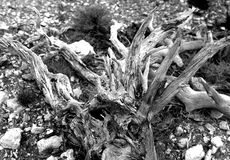 Grayscale Photography of Driftwood Royalty Free Stock Images