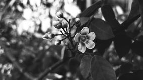 Grayscale Photography of Flower Royalty Free Stock Image