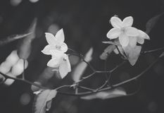 Grayscale Photography of Flowers Royalty Free Stock Photos